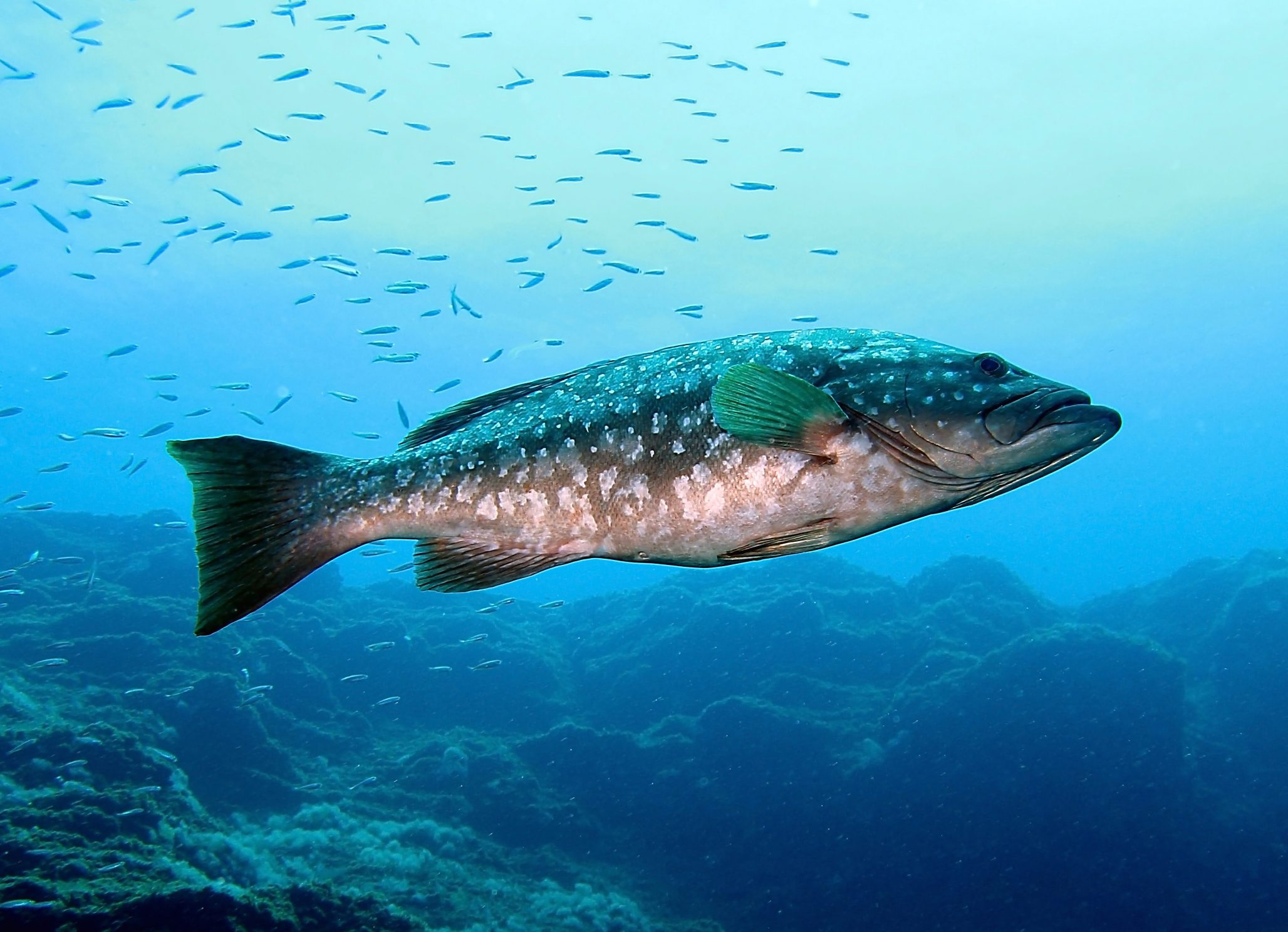 grouper mid water