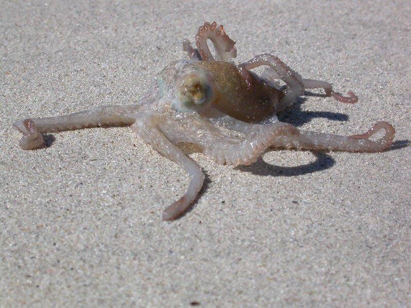 Octopus on sand